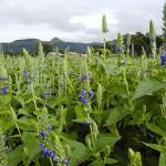 salvia hispanica - la pianta semi di chia